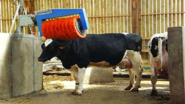 Cow Brush